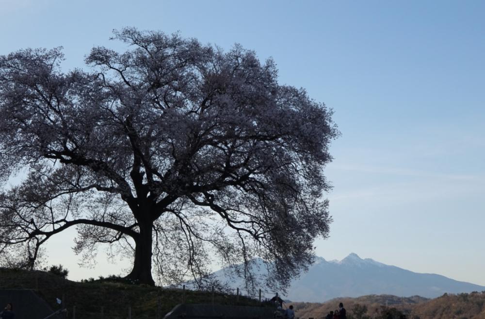 ワニ塚の桜