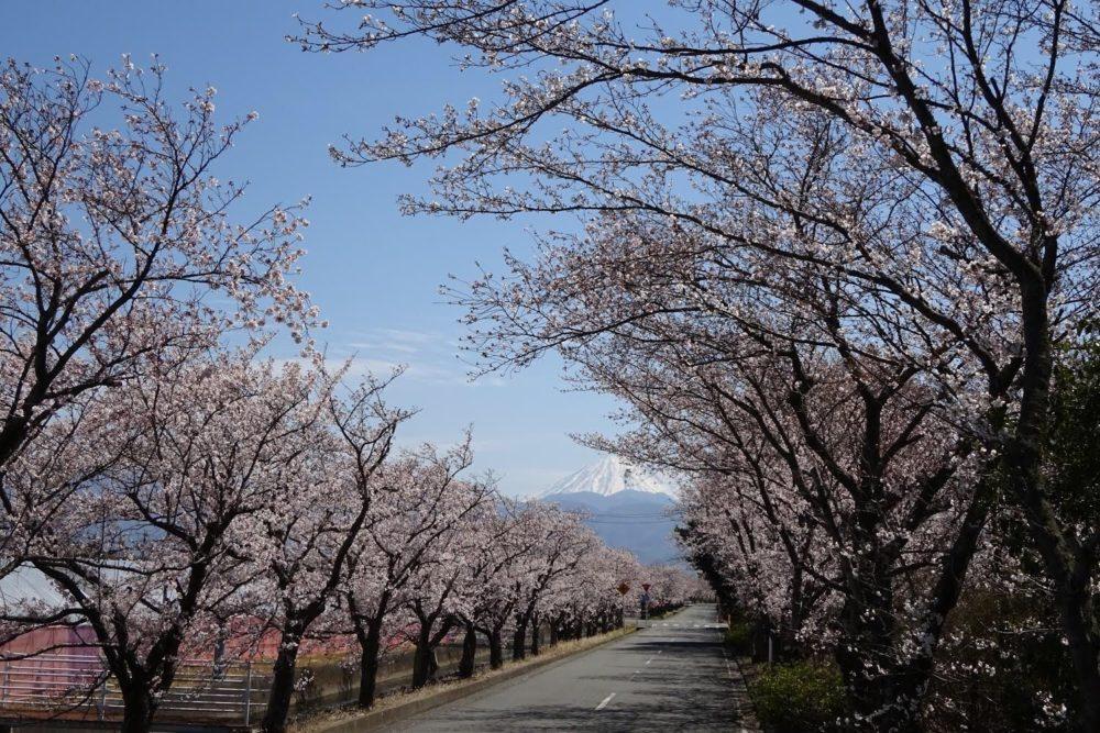 南アルプス 富士山と桜